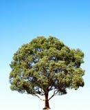 arbre de camphre Image stock