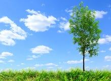 Arbre de cendre verte sur le ciel bleu photos libres de droits