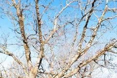 Arbre de cerise ou de Sakura de fond et ciel bleu en parc Images libres de droits