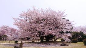 Arbre de cerise/de Sakura fleurissant à l'heure au Japon images libres de droits