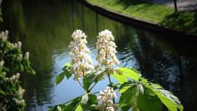 Arbre de châtaigne Chromakey Châtaigne de floraison Châtaigne de balancement d'inflorescence de branches Jour ensoleillé de chrom banque de vidéos