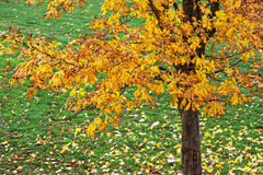 Arbre de châtaigne d'automne Image stock