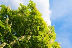 Arbre de châtaigne de floraison sur le fond de ciel bleu Image stock