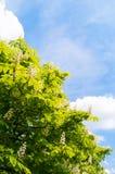 Arbre de châtaigne de floraison sur le fond de ciel bleu Photo stock