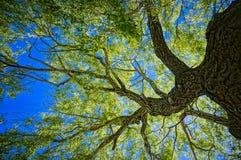Arbre de chêne photo stock