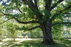 arbre de chêne image libre de droits