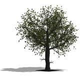arbre de chêne illustration de vecteur