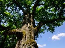 Arbre de chêne antique Image stock