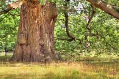 Arbre de chêne antique HDR. Photo stock