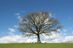 Arbre de chêne au printemps photo stock