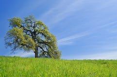 Arbre de chêne au printemps Photo libre de droits
