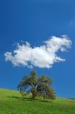 Arbre de chêne au printemps Image libre de droits