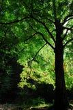 Arbre de chêne avec le beau feuillage vert Images libres de droits
