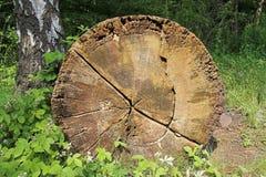 Arbre de chêne avec les boucles annuelles Images stock