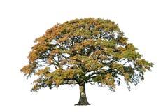 arbre de chêne d'automne photographie stock libre de droits