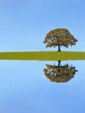 arbre de chêne d'automne Photos libres de droits