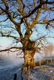 Arbre de chêne de l'hiver images stock