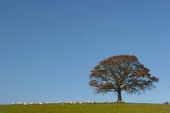 Arbre de chêne en automne images stock