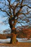 Arbre de chêne en hiver Photographie stock