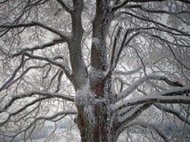 Arbre de chêne en hiver Image stock