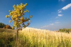 Arbre de chêne jaune dans un domaine Photographie stock libre de droits