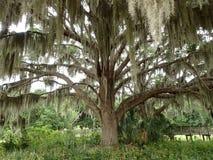 Arbre de chêne majestueux Photos stock