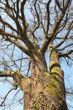 Arbre de chêne puissant photographie stock