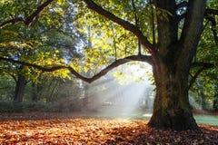 Arbre de chêne puissant Photos libres de droits