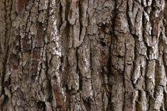 Arbre de chêne sous tension Photographie stock