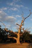 Arbre de chêne sous tension Photos stock