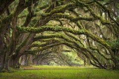 Arbre de chêne sous tension de plantation de Sc de Charleston d'avenue de chênes Photographie stock