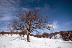 Arbre de chêne sur le peissage de l'hiver Images stock