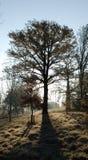 Arbre de chêne tôt de matin de l'hiver Photo libre de droits