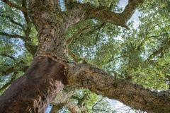 Arbre de chênes épluché de liège Images libres de droits