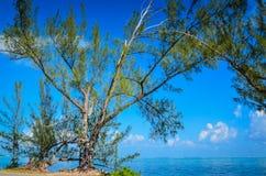 Arbre de chaussure de caïman - Grand Cayman photographie stock libre de droits