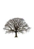 Arbre de chêne abstrait de l'hiver Images stock