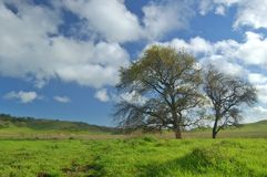 Arbre de chêne au printemps Photos stock