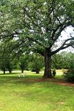 Arbre de chêne en été Image libre de droits