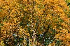 Arbre de châtaigne d'automne Images stock