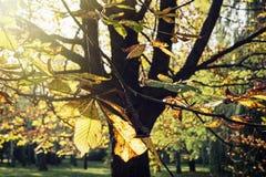 Arbre de châtaigne d'automne au soleil Photographie stock libre de droits