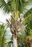 arbre de Coco-paume contre le ciel bleu Photo stock