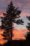 Arbre de conifère sur le fond des nuages roses Images stock