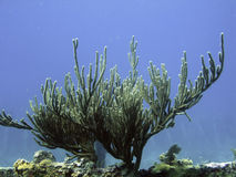 Arbre de corail Images libres de droits