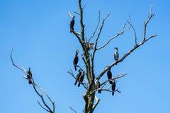 Arbre de cormorans sur le delta de Danube Images stock