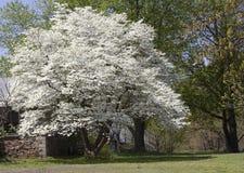 Arbre de cornouiller de floraison photos stock
