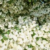 Arbre de cornouiller en fleur en plan rapproché photo stock