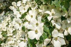 Arbre de cornouiller en fleur en plan rapproché photos stock