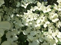 Arbre de cornouiller en fleur en plan rapproché images stock