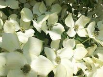 Arbre de cornouiller en fleur en plan rapproché image libre de droits
