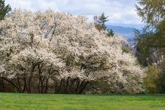 Arbre de cornouiller de fleurs blanches photo stock